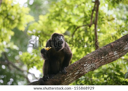 Ateles geoffroyi vellerosus Spider Monkey in Panama eating banana - stock photo