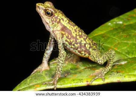 Atelopus is a large genus of true toads, commonly known as harlequin toads or stubfoot toads, from Central and South America. - stock photo