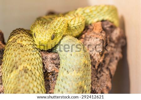 Atheris squamigera snake - stock photo
