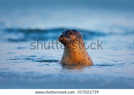 Atlantic Grey Seal, Halichoerus grypus, portrait in the dark blue water wit morning sun, animal swimming in the ocean waves, Helgoland island, Germany - stock photo