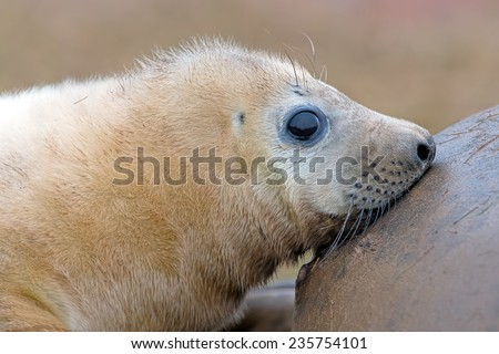 Atlantic Grey Seal Pup Suckling from Mother/Atlantic Grey Seal Pup/Atlantic Grey Seal Pup (halichoerus grypus) - stock photo