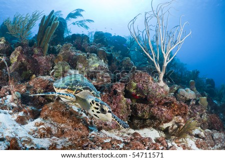 Atlantic Hawksbill Turtle (Eretmochelys imbricata imbricata) swimming on a tropical coral reef in Bonaire, Netherlands Antilles.