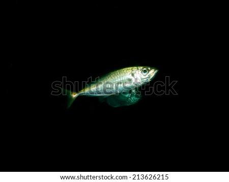 Atlantic horse mackerel - stock photo