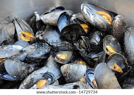 Atlantic Mussels - stock photo