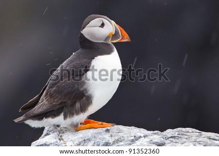 Atlantic (or Common) Puffin - stock photo