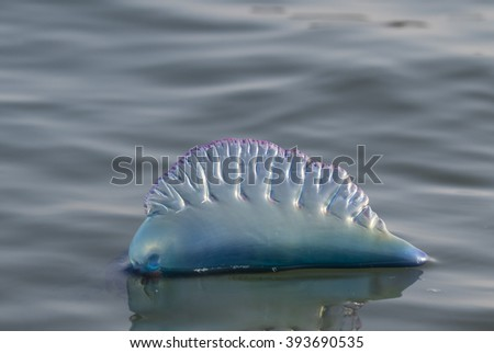 Atlantic Portuguese man o' war (Physalia physalis) floating in the ocean, Galveston, Texas, USA