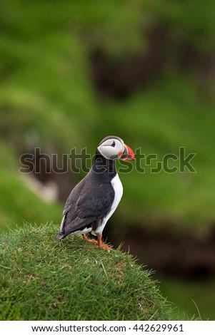 Atlantic puffin, Faroe Island, fratercula arctica - stock photo