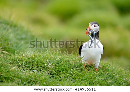 Atlantic Puffin (Fratercula Arctica) bird during nesting season in its natural habitat. - stock photo