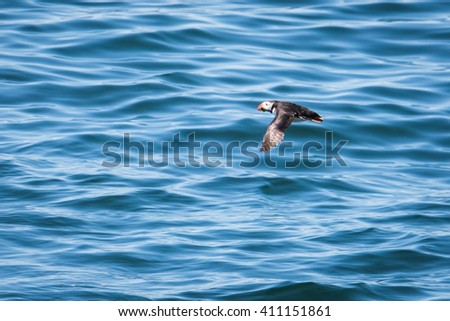 Atlantic Puffin (Fratercula arctica) flying low above water, Maine, USA - stock photo