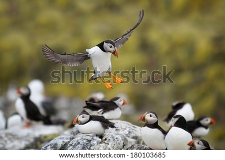Atlantic Puffin (Fratercula arctica) in flight coming in to land - stock photo