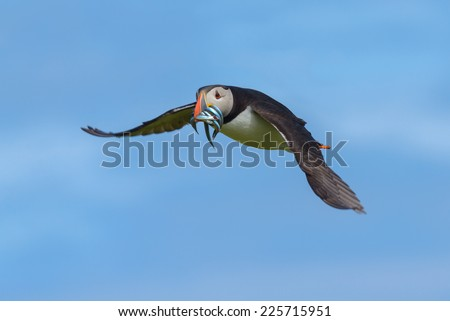 Atlantic Puffin (Fratercula arctica) in flight having had a successful fishing expedition and catching a beakful of sandeels. Shot against a blue sky. Horizontal format with copy space.  - stock photo