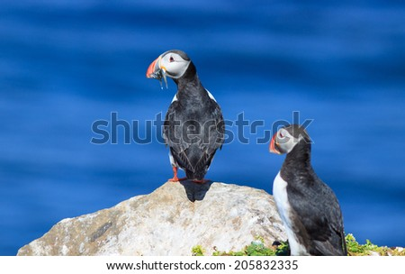 Atlantic Puffin (Fratercula arctica) on cliff top in Grimsey, Iceland - stock photo