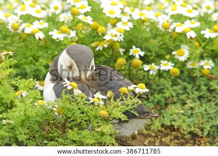 Atlantic Puffin, Fratercula arctica, resting after digging its nesting burrow, with selective focus and diffused background, Skomer Island, Pembrokeshire, West Wales, United Kingdom - stock photo