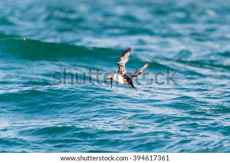Atlantic Puffin in motion catching a fish in flight, Mingan, North shore of  Quebec, Canada - - stock photo