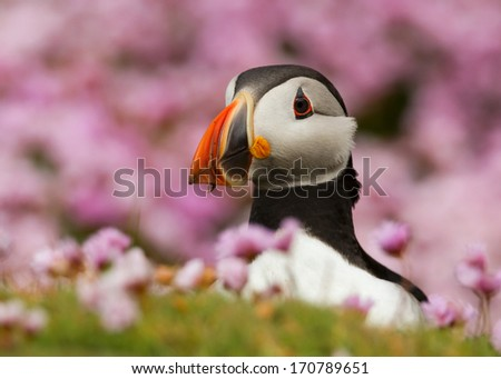 Atlantic puffin in thrift. - stock photo