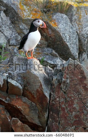 Atlantic Puffin on a cliff in Newfoundland, Canada. - stock photo