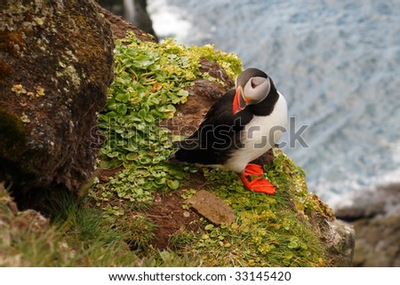 Atlantic Puffin, West Fjords, Iceland - stock photo