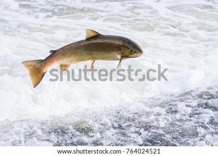 atlantic salmon jumping wwwpixsharkcom images