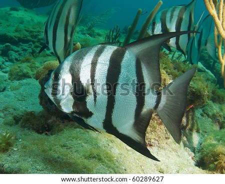 Atlantic Spadefish on a coral reef.. Picture taken in Broward County Florida. - stock photo