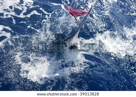 Atlantic white marlin big game sport fishing over blue ocean saltwater - stock photo