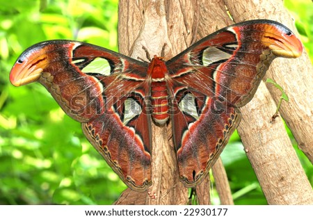 atlas moth - stock photo