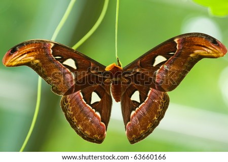 Atlas Moth (Attacus atlas) hatched from cocoon and drying it's wings. - stock photo