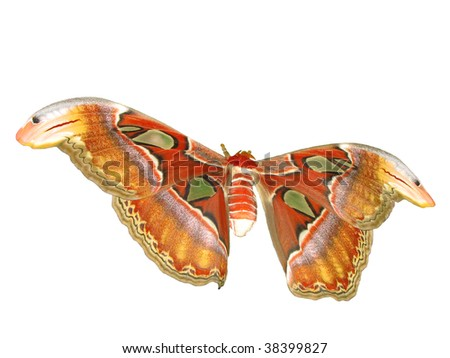 atlas moth isolated on white background - stock photo