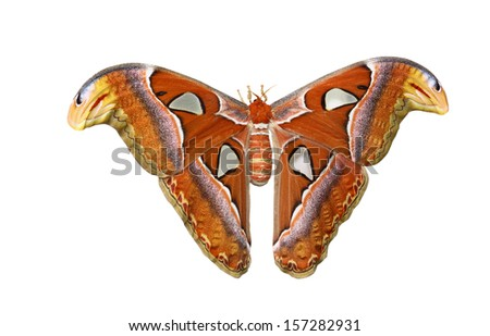 Atlas moth  isolated on white background included clipping path - stock photo