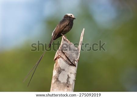 Atrapamoscas Rabi-junco - stock photo