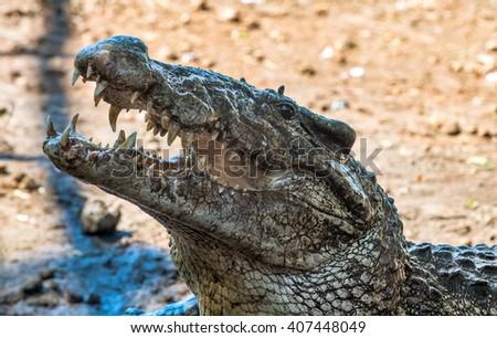 Attack crocodile. Cuban Crocodile (crocodylus rhombifer).  Cuba - stock photo