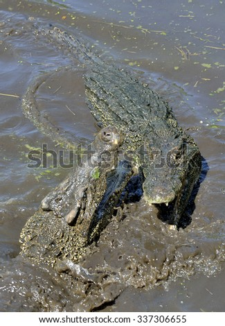 Attack crocodile. Cuban Crocodile (crocodylus rhombifer). The Cuban crocodile face out of the water. Cuba. - stock photo