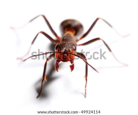 Attacking big red ant isolated on white background.  Macro with shallow dof. - stock photo