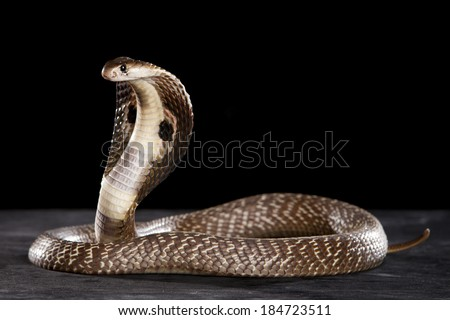 Attacking Cobra  Hood - stock photo