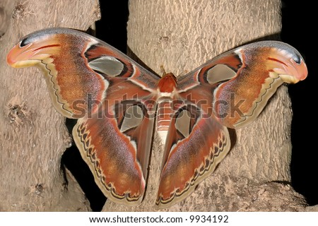 attacus atlas - atlas vlinder - stock photo