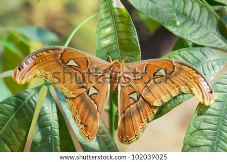 Attacus lorquini butterfly - stock photo