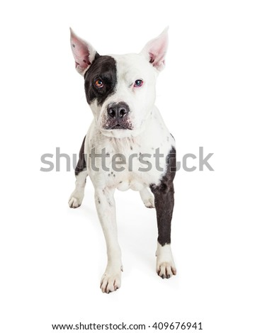 Attentive American Stoffordshire Pit Bull dog with white and black fur looking forward into camera - stock photo