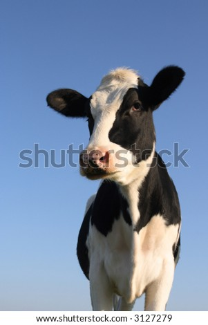 Attentive black and white cow over a blue sky background - stock photo