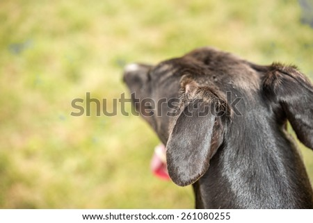 Attentive black greyhound dog head blur shallow depth of focus  Close up view from behind of blurred dog head with sharp ears, image is filtered for background perfect for pet magazine website blog - stock photo