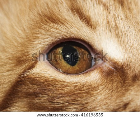 attentive brown eyes of shaggy long-haired white red stripped cat