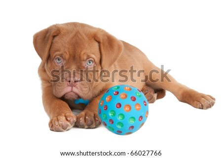 Attentive Dogue De Bordeaux puppy playing with ball isolated - stock photo