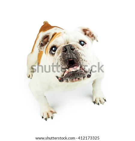 Attentive English Bulldog lunging forward on white - stock photo