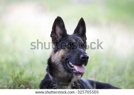attentive German shepard dog - stock photo