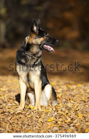 attentive german shepard dog portrait with autumn forest background - stock photo