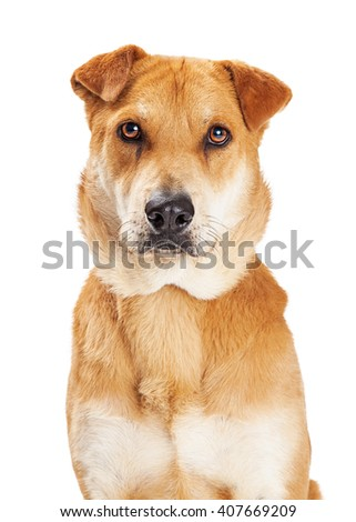 Attentive large mixed breed dog looking straight into camera - stock photo