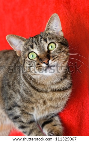 attentive look of a cat on red background