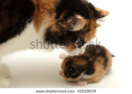 Attentive mother with it's kitten - stock photo