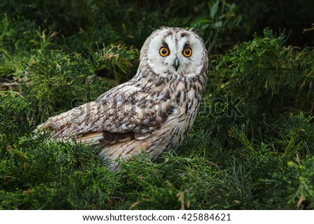 Attentive owl. A lovely long-eared owl keeps a watch on the world from its perch. - stock photo