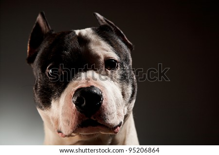 Attentive pit bull close up studio shot black background copy space - stock photo