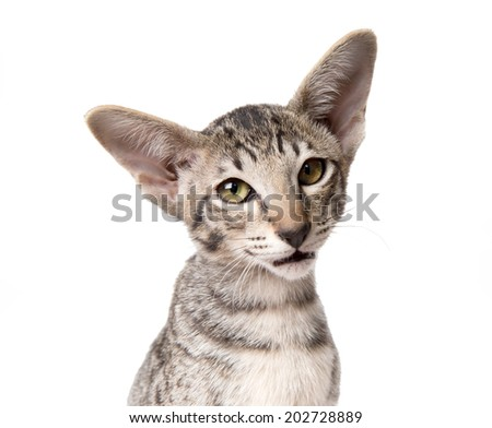 attentive serious tabby oriental kitten close-up isolated on white. looking into camera - stock photo