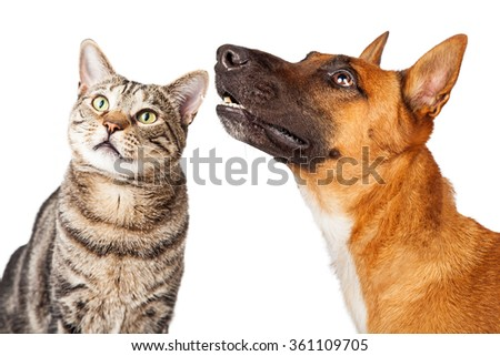 Attentive Shepherd breed dog and tabby cat together looking up and to the side  - stock photo